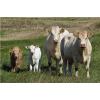 Купим коров у населения расчет на месте